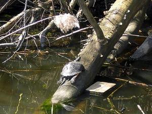 Fortfarande där. Sköldpaddan Skalman har fortfarande sin hemvist i Skitviken.