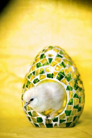 Ägg från Indiska. Kycklingen bor hos Mari-Anne Tjäderud i Lännäs.