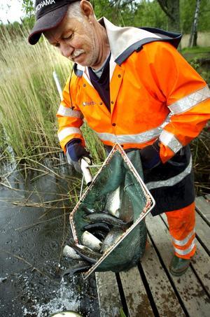 Håvar fisk. Rolf Arvidsson från Fortums laxodling i Gammelkroppa såg till att de dryga 110 kilona öring hamnade i Söderhavet och inte på land.bild: göran kempe