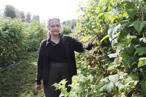 """RIk skörd. Hallonsorten heter Preussen och ger stora söta bär. """"Allt har mognat på en gång """", säger Kersti Borgsström, nyetablerad odlare. I dag är hon med på matmarknaden i Hedemora och i helgen  har hon öppet hus.Foto: Annika  Fredrikson"""