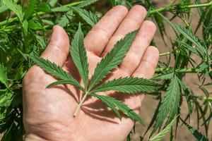 Marijuana används för att locka turister i Colorado.