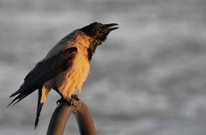 Kråkor är starkt sociala och kan förmedla information om var det finns föda till de andra medlemmarna i flocken.    Foto: Hasse Holmberg/TT