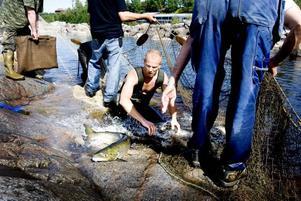 KÄMPADE. Laxarna och öringarna kämpade friskt i vattnet. Här är en fisk på rymmen från Jan-Olov Olsson.