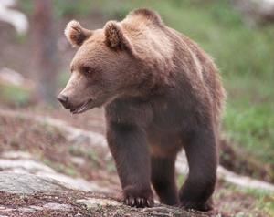 Den unge jägaren mötte en aggressiv björnhona med tre ungar.