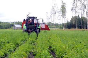Från raka fåror plockar traktoraggregatet upp årets första nypotatis på Åke Wedins odling på Björkön.