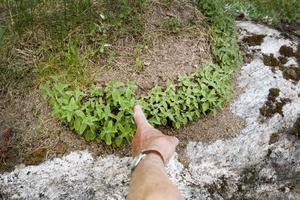 Bergmyntan har flyttat sig till en gammal myrstack, förmodligen med myrornas hjälp.