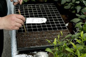 Penntricket - de små malvafröna fäster på den fuktiga baksidan av en blyertspenna, och syns som blåfärgade rundlar i jorden.