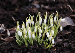 Än så länge är det inte så mycket som blommar, men snödopparna har i alla fall tittat fram.