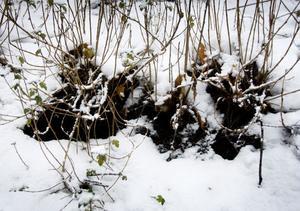 Här kryper råttorna in och lever bra under buskarna, skyddade från rovfåglar och illvilliga råttsanerare.