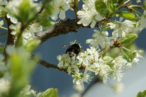En humla i vårt blommande plommonträd en solig dag i maj.