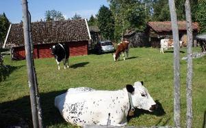 Korna går lösa i fäboden. De flesta har inhägnat sina gårdar, men vissa har bara satt upp staket för sina uteplatser och låter boskapen sköta gräsklippningen.