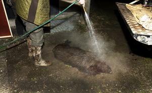Det skjuts nu fler vildsvin i Sverige än älgar.