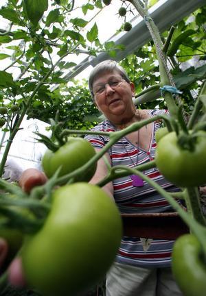I växthuset har de flera sorters tomater, bland annat gula tomater, plommontomater och en sort som heter Nepal.