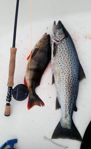 Håkan Lindberg, Borlänge fick en öring och en fin abborre i östra Vattnan, Tännäs. Öringen vägde 2 180 gram och abborren 760 gram