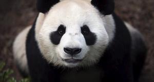 Jättepandan kallades förut bambubjörn, och tillhör en av jordens utrotningshotade djurarter.