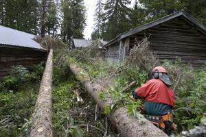 Runt byggnaderna står flera gamla och uttorkade träd som riskerar att falla på fäbodarna.