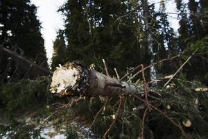 Mycket stormfälld skog ökar risken för insektsangrepp. Nu används helikopter för att inventera skadorna.