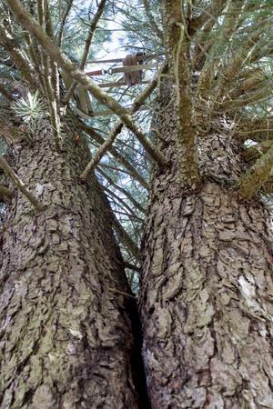 Ett spännband uppe i kronan förhindrar att trädet fläks.