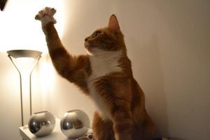 Fångade ögonblicket då min katt Ida jagade en fluga från min flickväns bananflugodling.