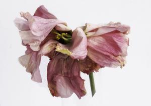 Carola Nyström håller på med ett eget fotoprojekt över sommaren om blommor och skönhet i förgänglighet.