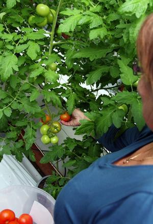 Lea Hörnström plockar en av de nymogna tomaterna från plantorna.