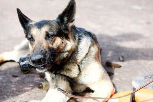 Kina Wärviks hund Ixxi pustar ut efter att ha sökt efter människor under slutprovet för räddningshundar.