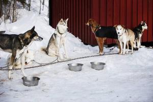 Årets tävling lockade 70 startande ekipage. Därav fylls byn med hundar som syns till lite varstans.