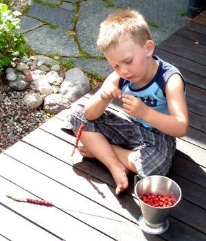 Att själv få plocka sina smultron och sedan trä upp dem på ett grässtrå är en riktig sommarsysselsättning. Loke 4 år var mycket koncentrerad, och avslutade senare med att äta upp några och bjuda på resten !!