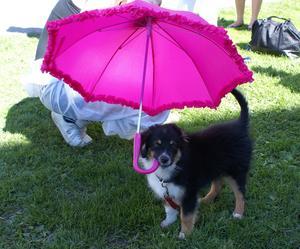 Våran Izak (en mini ossi på 12 veckor) bar sitt geget paraply under studenternas utklädning jippo