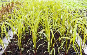 Prydnadsgräset pärlhirs kommer att bli en hög vackert purpurröd växt.