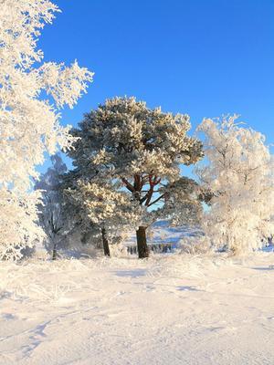 Frostiga träd i Vagled Foto: Mona Jacobsson