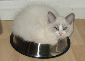 Det här är min ragdollkattunge Suki, som tagit plats i min golden retrievers, Bonnies, hundskål.