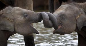 Två av de unga elefanterna på hemmet i Pinnawala.