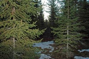 BJÖRNEN SOV. Här i skogen öster om Mehedeby väckte jaktlaget en sovande björn. Björnen tog till flykten.