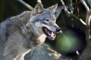 Det som drabbar en rovdjursart i ett land påverkar också förutsättningarna för att bevara arten i grannländerna, skriver debattörerna.