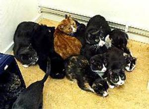 Foto: LEIF JÄDERBERG Kurar tillsammans. Så här gör inte katter normalt. Men de här har lärt sig hålla sig tätt ihop för att hålla värmen. Kampen för överlevnad har fått dem att ändra sitt naturliga beteende.