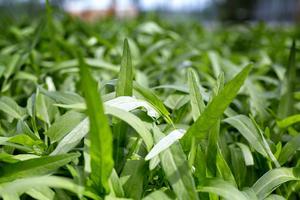 Här odlas Vattenspenat, en spenatsort som är vanlig  i Asiatisk matlagning.
