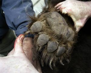 Sista björnen är fälld i jaktområde 2b – alltså nordöstra delen av länet.