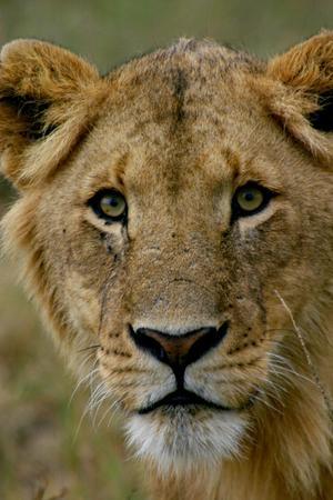 Lejonhonan undrar nyfiket – vad gör ni här i mina jaktmarker?