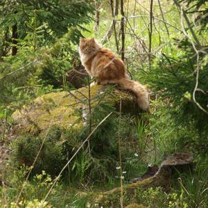 den här vackra katten kommer i bland och hälsar på mig i min stuga på landet. den är stor och rödhårig..