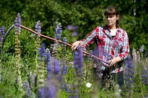 Lupiner breder ut sig på landsbygden. Annika Carlsson går med lien i högsta hugg.