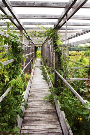 En grön avdelare. När växterna tar sig blir pergolan en grönskande tunnel. Pipranka, vildvin, guldhumle och gullklematis har påbörjat jobbet.