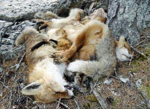Rävarna ligger med benen om varandra. Några av rävarna har ståltråd runt frambenen.