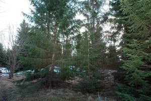 VILDSVINSVAKT. Det var under vildsvinsjakt i söndags i den här skogen öster om Mehedeby som hundföraren Anders Kvarnebrink stötte på björnen som låg i ett öppet korgide.