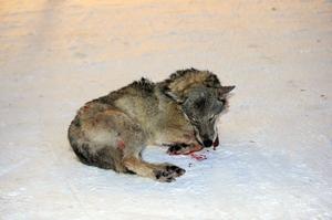Den avlivade varghanen kommer nu att föras till Uppsala för veterinär medicinsk undersökning.