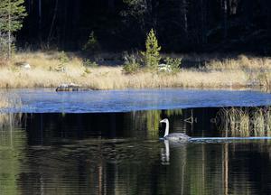 Isen börjar lägga sig men än har den unga sångsvanen öppet vatten.