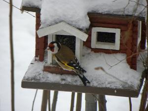 Det tog oss 73 år att få se denna vackra fågel. Den var hos oss endast c:a 5 min. Därefter har han inte visat sig.