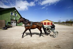 PÅ STALLBACKEN. Jenni Åsberg på Gävletravet är Sveriges yngsta kvinnliga travtränare med proffslicens. Hennes team har 40 hästar i träning, några av de mest lovande är Sanna Sherona (bilden), Nicholas Frontline och Blue Star Miracle.