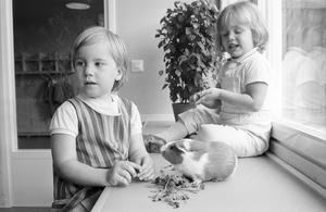 Barnträdgårdarna i Västerås öppnar på måndag, men i daghemmen runt om i stan är det redan full fart. Alldeles ny är Vallby barnstuga. Där saknas än så länge både möbler och gardiner i ganska stor utsträckning, men en livs levande maskot finns på plats – marsvinet Malin.Här matas den åtta månader gamla marsvinsflickan av Clary, 4 år, och Charlotte, 3 år.