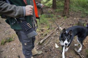 Många tar med sig hunden ut på jakten, men allt flera väljer att ha väst på dem för att förebygga skador ifall ett vildsvin eller en varg skulle angripa.